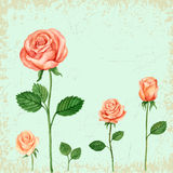 Vector Rose watercolor Stock Photos