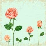 Vector Rose watercolor Stock Photos