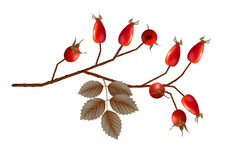 Vector Rosehip Berries Royalty Free Stock Photos