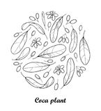 Vector round composition of outline Cocaine plant or Erythroxylum coca. Ornate leaf, fruit and flower in black isolated on white. Royalty Free Stock Images