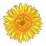 Vector round composition with outline yellow Sunflower or Helianthus flower in yellow isolated on white background. Floral elements in contour style with Royalty Free Stock Photo