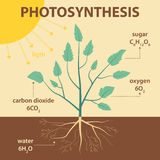 Vector schematic illustration showing photosynthesis of plant - agricultural infographic Stock Photography