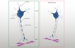 Scheme structure of a typical neuron Royalty Free Stock Images
