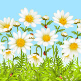 Vector seamless background with camomile. Vector seamless horizontal background with camomile. White flower and green grass Stock Photos