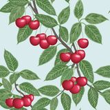 Vector seamless background with cherries Stock Image