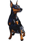 Vector Serious dog Miniature Pinscher. Portrait of serious dog Miniature Pinscher (King of the Toys) breed sitting Royalty Free Stock Photos