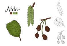 Vector set of alder tree elements isolated on white background. Botanical illustration of alder leaf, brunch, flowers, fruits, ament, cone. Black and white royalty free illustration