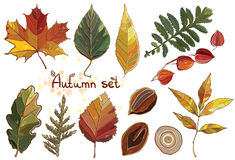 Vector set with autumn set leaves, nuts, tree. Vector set with autumn leaves, nuts, tree. Vector collection with foliage of Thuja, aspen, physalis, alder, elm Vector Illustration