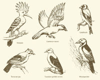 Vector set of birds: crow, hoopoe, oriole, woodpecker, jay, gold Stock Photos