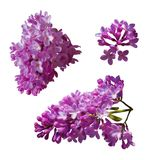 Vector set of branches of purple lilac flowers isolated on a white background. Royalty Free Stock Photography