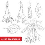 Vector set with Brugmansia arborea or Angels Trumpets, flower, bud and leaves isolated on white background. Contour style. Vector set with Brugmansia arborea or Stock Photos