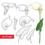 Vector set with Calla lily flower or Zantedeschia, bud and leaves in black isolated on white background. Contour floral elements. Royalty Free Stock Photo