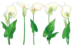 Vector set with Calla lily flower or Zantedeschia, bud and leaves in pastel color isolated on white background. Floral element. Vector set with Calla lily Stock Images