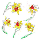 Vector set of daffodils Stock Image