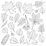 Vector set of different, , detailed outline tree leaves, bunch of Rowan and pine cone on white background. Stock Image