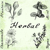 Vector set of 4 drawings of plants - mint, chamomile, thyme, plantain. Hand drawing pencil. Royalty Free Stock Image