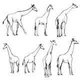 Vector set of giraffes Royalty Free Stock Image