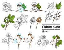 Vector set of hand draw ink cotton plant. And lettering. Botanical illustrations stock illustration