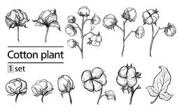 Vector set of hand draw ink cotton plant Royalty Free Stock Image