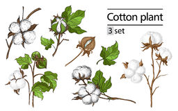 Vector set of hand draw ink cotton plant Stock Photo