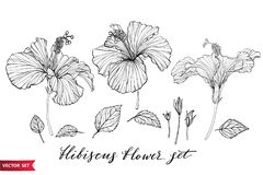 Vector set of hand drawing hibiscus flowers different shapes, monochrome artistic botanical illustration, isolated. Floral elements, hand drawn illustration set stock illustration