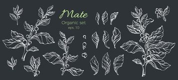 Vector set of hand drawn white mate plant. Nature on black background. Stock Photo