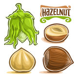 Vector set of Hazelnut Nuts. Immature filbert or hazel in green shell and leaves, lettering title - hazelnut, cobnut or hazelnut nuts in brown nutshell and Royalty Free Stock Images