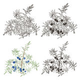 Vector set of juniper Royalty Free Stock Photo