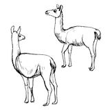 Vector set of lamas Stock Photography
