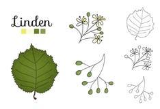 Vector set of linden tree elements isolated on white background. Botanical illustration of linden leaf, brunch, flowers, fruits, ament, cone. Black and white vector illustration