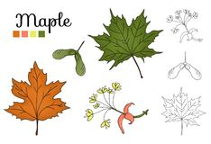 Vector set of maple tree elements isolated on white background vector illustration
