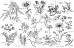 Vector set of medicinal plants. Set of vector medicinal herbs, flowers, plants, spices and fruits. Vector illustration. Cannabis and Poppy, dandelion and Stock Photos