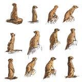 Meerkat. The vector set of meerkat in many poses Stock Image