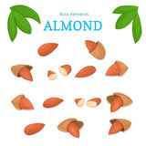 Vector set of nuts. Almond nut whole, peeled, piece  half, walnut in shell, leaves. Stock Images