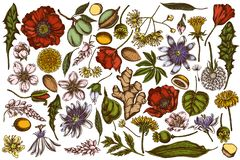 Free Vector Set Of Hand Drawn Colored Almond, Dandelion, Ginger, Poppy Flower, Passion Flower, Tilia Cordata Royalty Free Stock Images - 151907349
