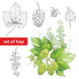 Vector set with ornate Hops or Humulus. Cones, leaves, branch in black  on white background. Stock Photos