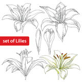 Vector set with ornate white Lily flower and bud in black and in color  on white. Linear silhouette of opening lilies. Royalty Free Stock Images