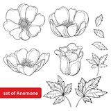 Vector set with outline Anemone flower or Windflower, bud and leaves in black isolated on white background. Ornate Anemones in contour style for spring design stock illustration