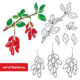Vector set with outline Barberry or Berberis vulgaris, bunch with ripe berry and leaves isolated on white. Stock Image