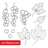 Vector set with outline Black currant, bunch, berry and leaves isolated on white background. Floral elements with blackcurrant. Royalty Free Stock Photos