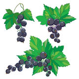 Vector set with outline Black currant, bunch, ripe black berry and green leaves isolated on white background. Ornate floral elements with blackcurrant in stock illustration