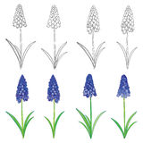 Vector set with outline blue muscari or grape hyacinth flowers and green leaves isolated on white. Floral elements for spring, Royalty Free Stock Image