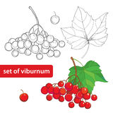 Vector set with outline bunch of Viburnum or Guelder rose, leaves and berry isolated on white. Illustration with autumn berry. Stock Photography