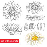 Vector set with outline Chamomile flowers, bud and petal isolated on white background. Ornate Chamomiles in contour style. Stock Images