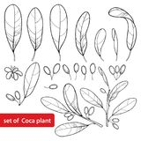 Vector set of outline Cocaine plant or Erythroxylum coca, bunch, leaf, flower and fruit in black isolated on white background. Royalty Free Stock Photo