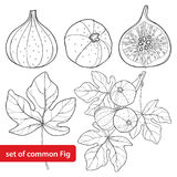 Vector set with outline Common Fig or Ficus carica fruit. Slice, leaf and branch  on white background. Stock Photo