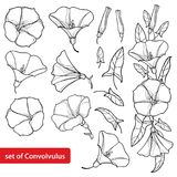 Vector set with outline Convolvulus or Bindweed flower bell, bunch, leaf and bud in black isolated on white background. stock illustration