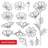 Vector set with outline Cosmos or Cosmea flower bunch, ornate leaf and bud in black isolated on white background. Contour blooming Cosmos plant for summer royalty free illustration