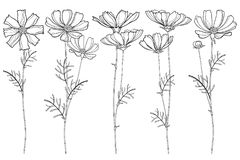 Vector set with outline Cosmos or Cosmea flower bunch, ornate leaf and buds in black isolated on white background. Contour blooming Cosmos plant for summer stock illustration