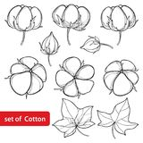 Vector set with outline Cotton boll and leaf in black isolated on white background. Ornate agriculture cultivated Cotton plant. Vector set with outline Cotton Royalty Free Stock Photography
